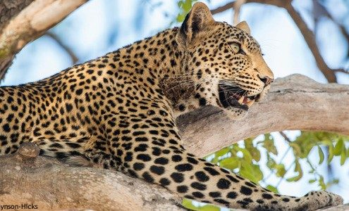 Leopard sighting - Serengeti